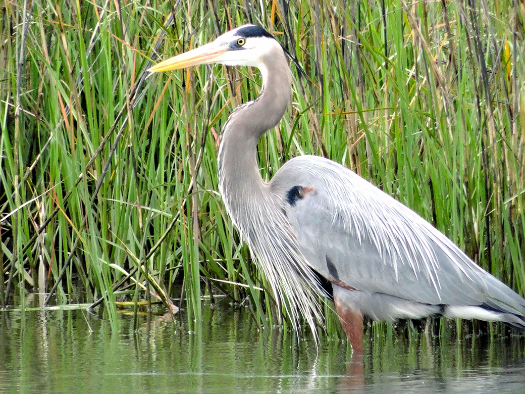 Hobbes, the Great Blue Heron, posing in the University of Texas Marine Science Wetlands Center pond.